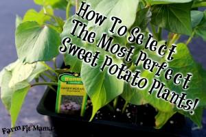 selectingsweetpotatoes