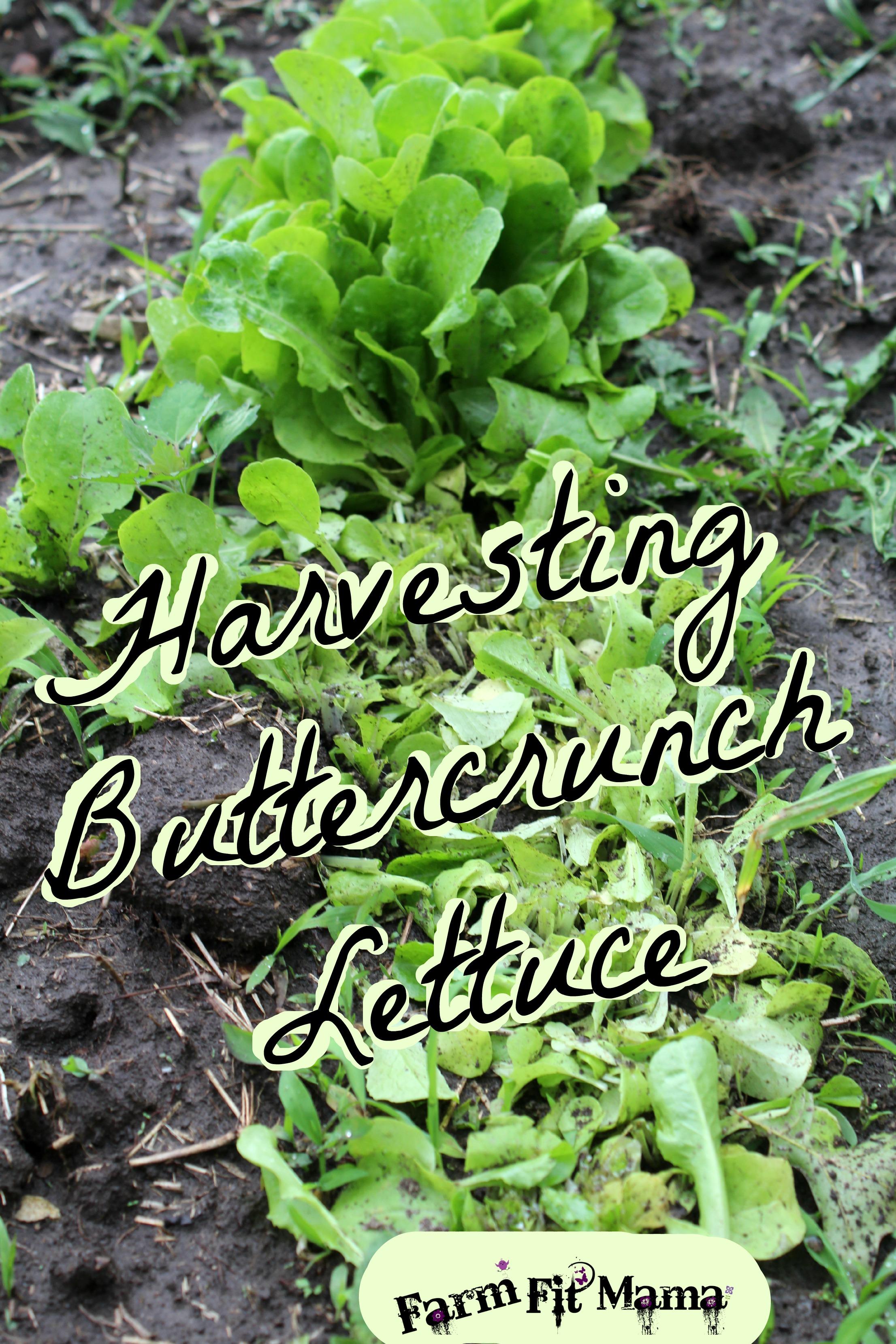 Fresh Crisp Buttercrunch Lettuce