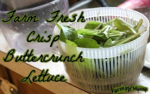 fresh crisp Buttercrunch Lettuce