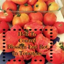 Fight Blossom End Rot in Tomatoes