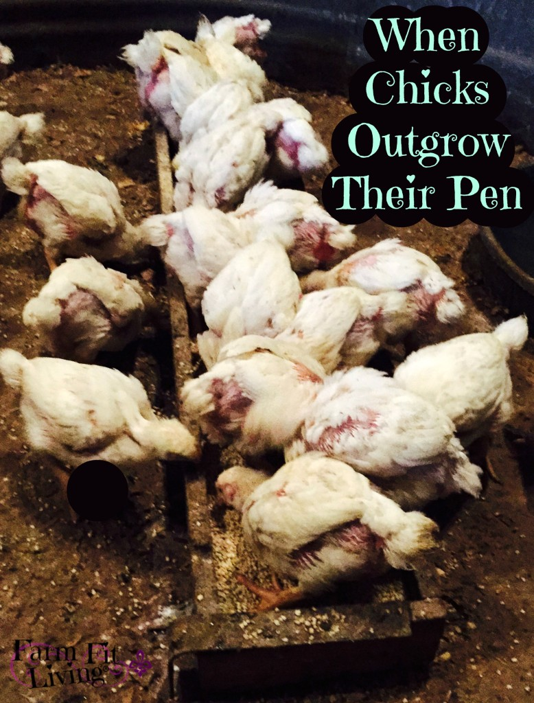 When Chicks Outgrow Their Pen