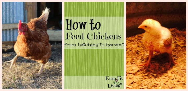 how to feed chickens from hatching to harvest