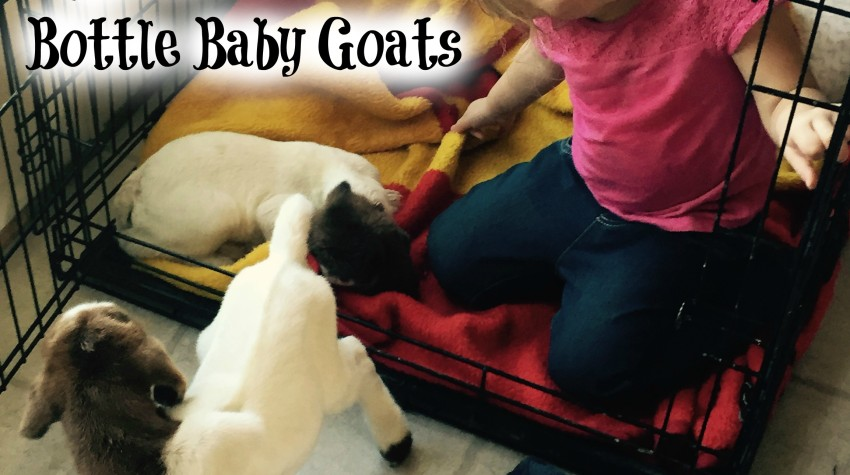 Jump Start Bottle Baby Goats