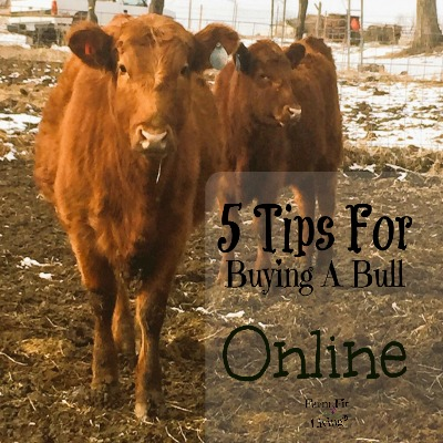 5 Tips for Buying a Bull Online