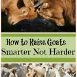 How to Raise Goats Smarter Not Harder