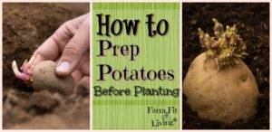 potato prep before Planting