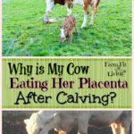 cow eating her placenta