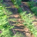 How to Install a Baling Twine Trellis for Peas