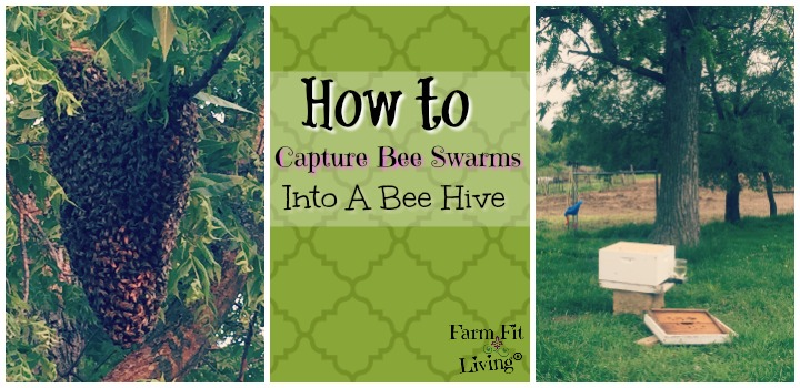 capture bee swarms