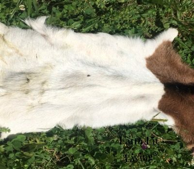 How to Graft Goat Kids Using Fresh Skin and Baling Twine