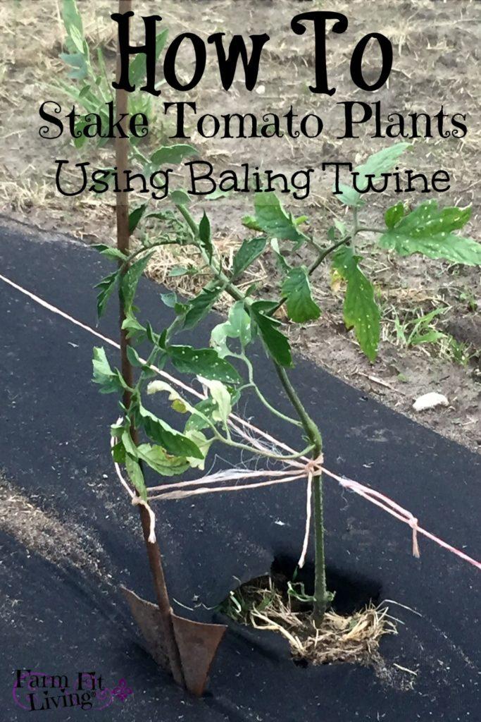 stake young tomato plants