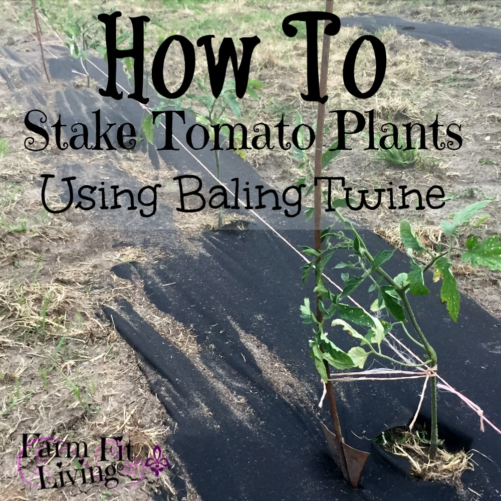 stake young tomato plants using baling twine