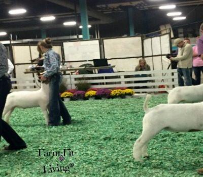 9 Ways Showing Livestock Prepared Me for My Dream Job