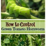 Control Green Tomato Horn Worms