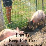 keep pigs cool