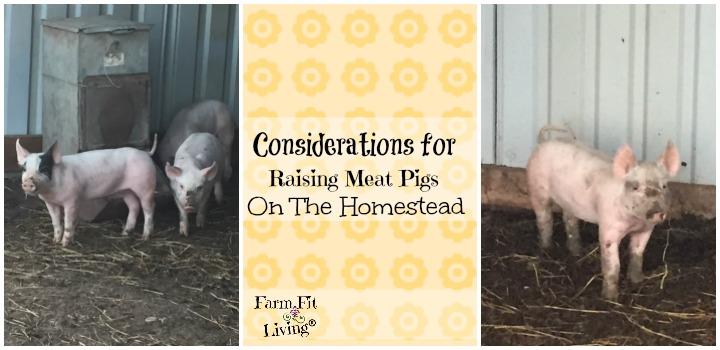 raising meat pigs
