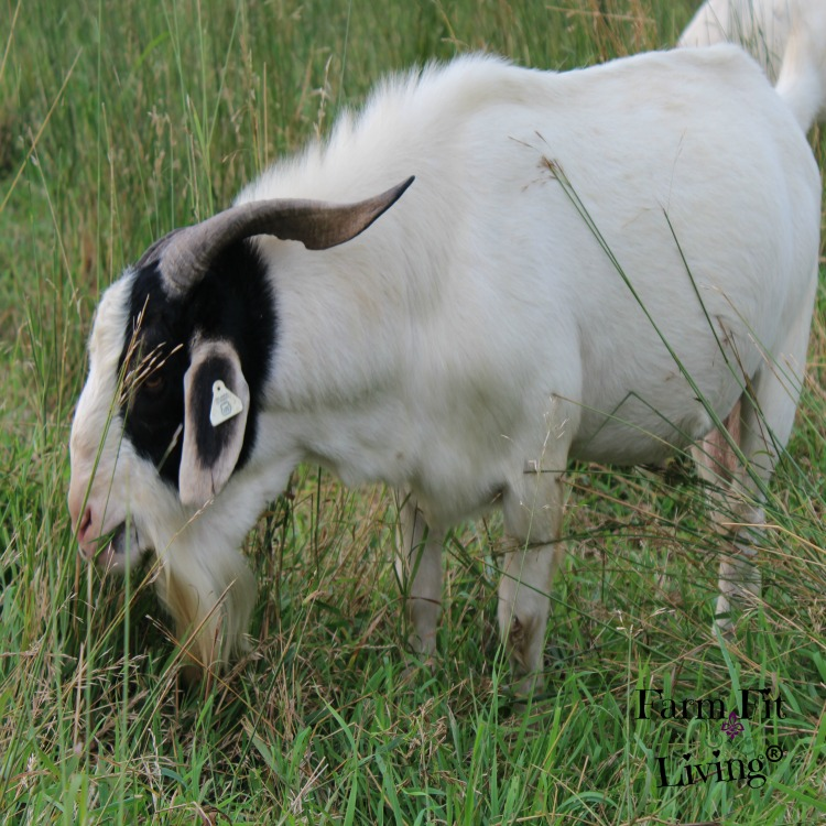Meat Goat Breeding Decisions You Should Be Making Every Year