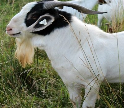 How to Buy Quality Proven Meat Goat Bucks for your Meat Goat Herd