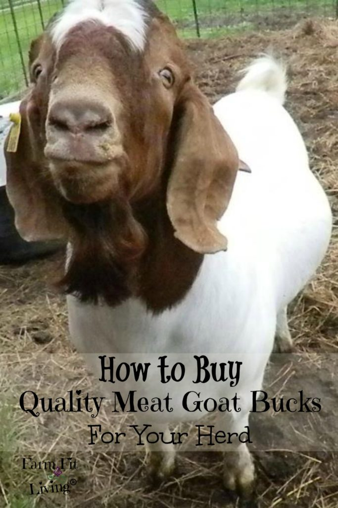 buy quality proven meat goat bucks