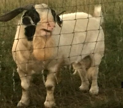 How to Condition Breeding Meat Goat Bucks