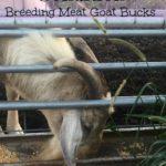 Condition breeding meat goat bucks