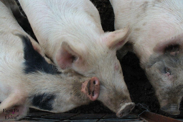 How to Keep Backyard Pigs Healthy During Winter | Farm Fit