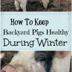 How To Keep Backyard Pigs Healthy During Winter