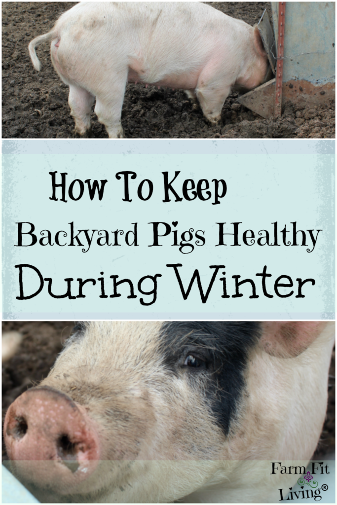 How to keep backyard pigs healthy during winter farm fit living are you interested in learning how to keep backyard pigs healthy during winter in the cold publicscrutiny Choice Image
