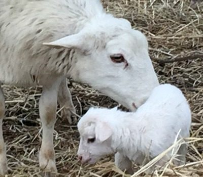 How to Prepare for Lambing During Winter | Farm Fit Living