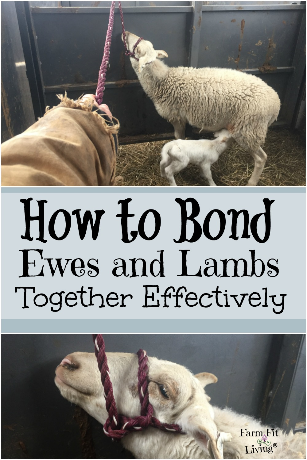 How to Bond Ewes and Lambs Together