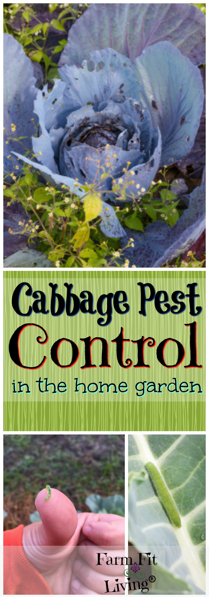 Are your cabbage plants and other cole crops looking sad? You might be in need of some cabbage pest control.