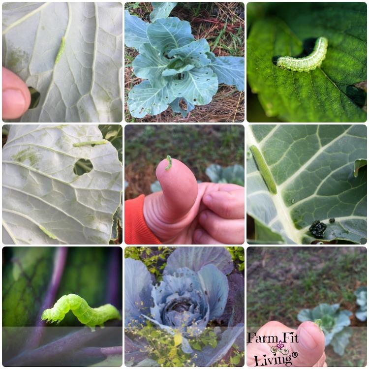 cabbage pest control