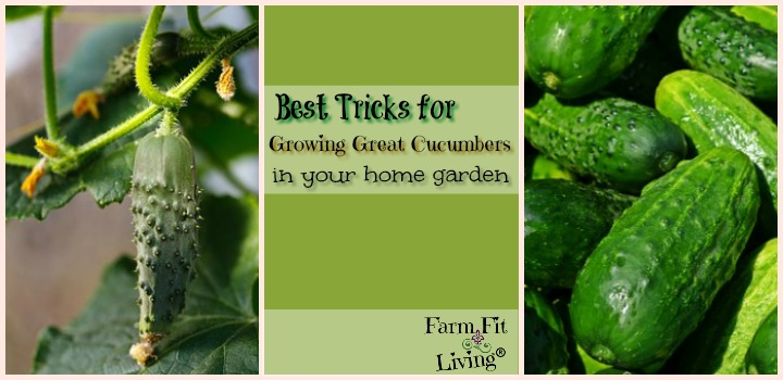 best tricks for growing great cucumbers