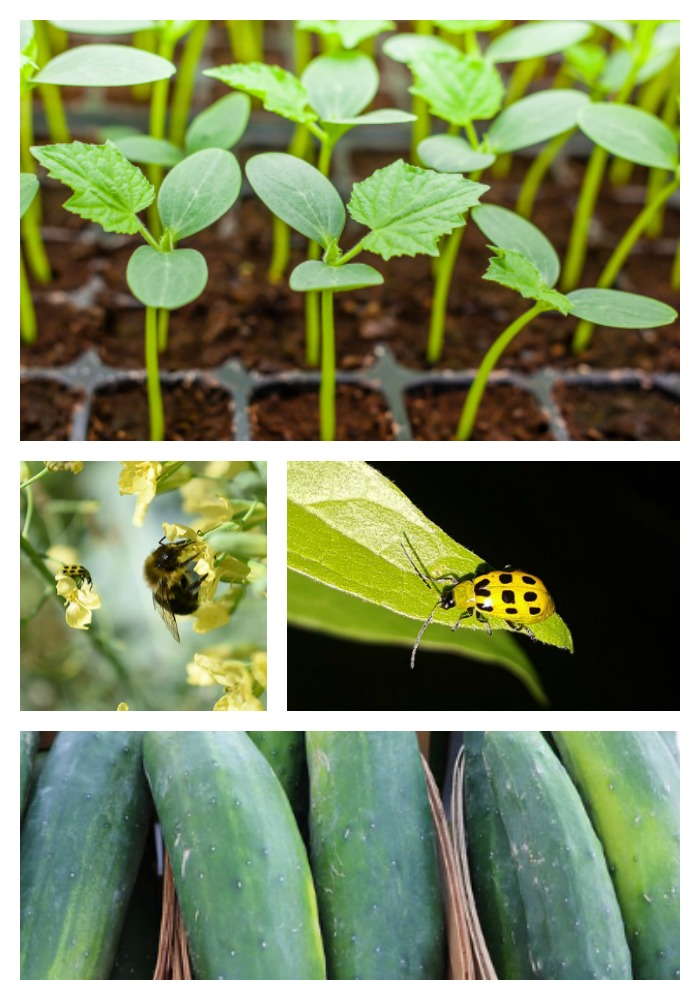 Best Tricks for Growing Great Cucumbers in your Home Garden