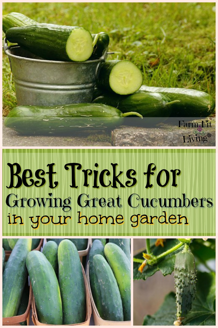Are you looking for the best tricks for growing great cucumbers wherever you are? Here's all my tips and secrets for growing cucumbers in small and large spaces.