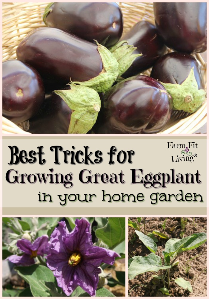 Best Tricks for Growing Great Eggplant