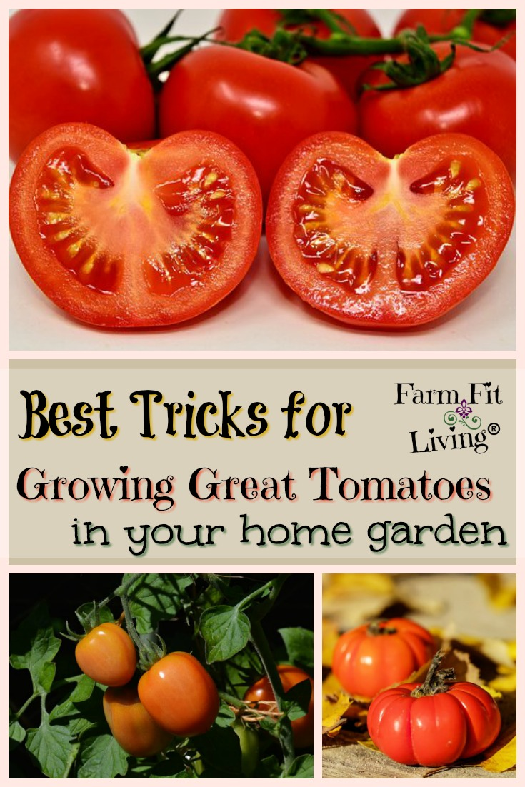 Here's all my top tomato growing secrets and best tricks for growing great tomatoes that I have used for years to win champion tomatoes. #growinggreattomatoes #vegetablegardening