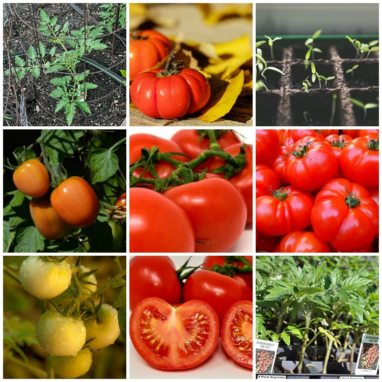 Best Tricks for Growing Great Tomatoes in your Home Garden