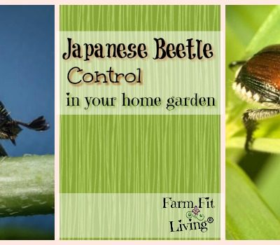 Japanese Beetle Control in Your Home Garden