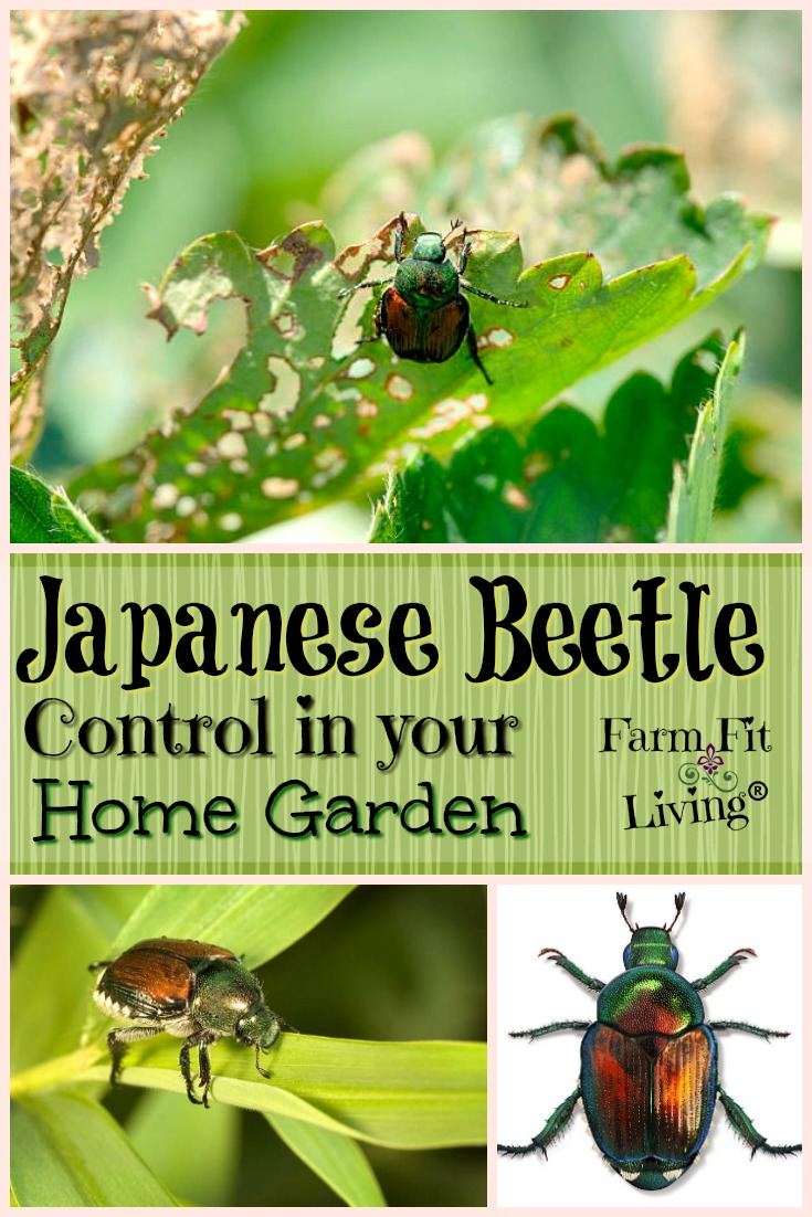 Are you desperate for Japanese beetle control methods that work for you? Here are some options you can take to control these pesky insects from destroying your garden. #gardeninsects #japanesebeetles