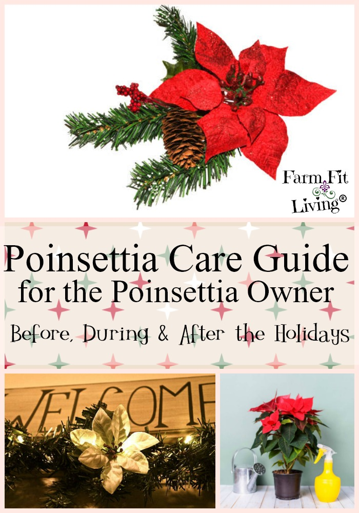 Poinsettia Care Guide Proper Care Before During After The Holidays