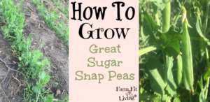 grow great sugar snap peas
