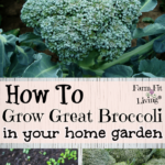 grow great broccoli
