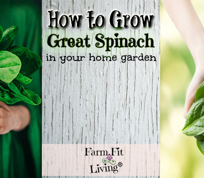 How to Grow Great Spinach in Your Home Garden