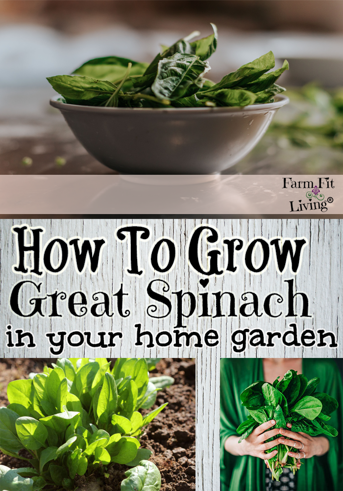 Grow Great Spinach