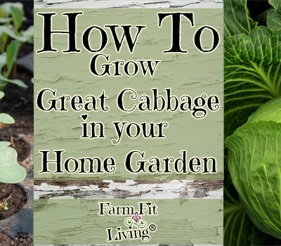 How to Grow Great Cabbage In Your Home Garden