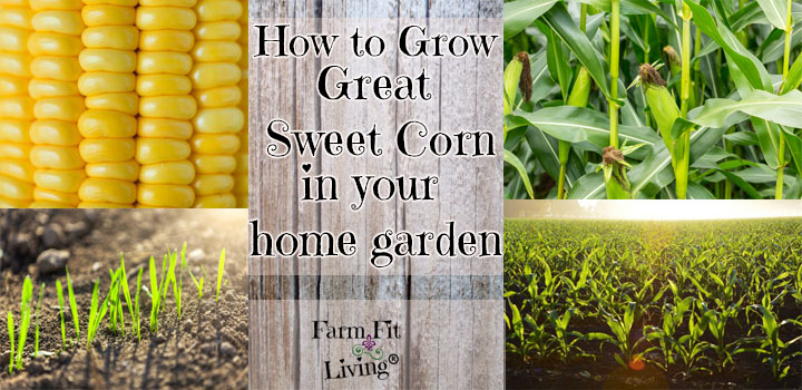 How to Grow Great Sweet Corn in your Home Garden
