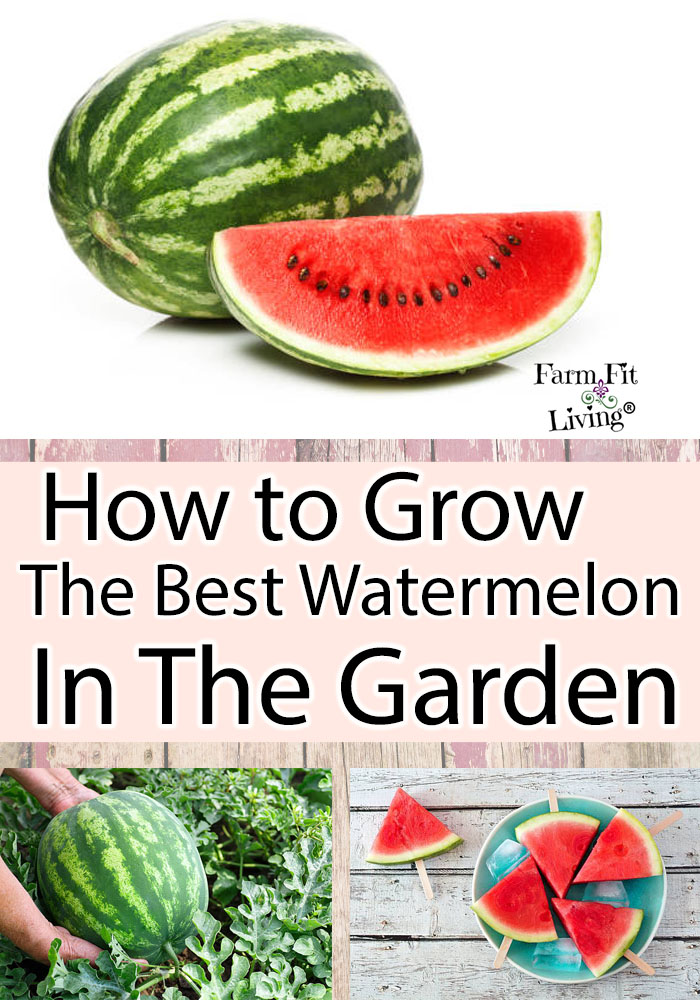 How to grow the best watermelon in the garden