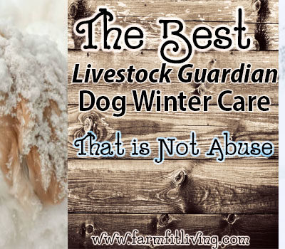 The Best Livestock Guardian Dog Winter Care that is Not Abuse