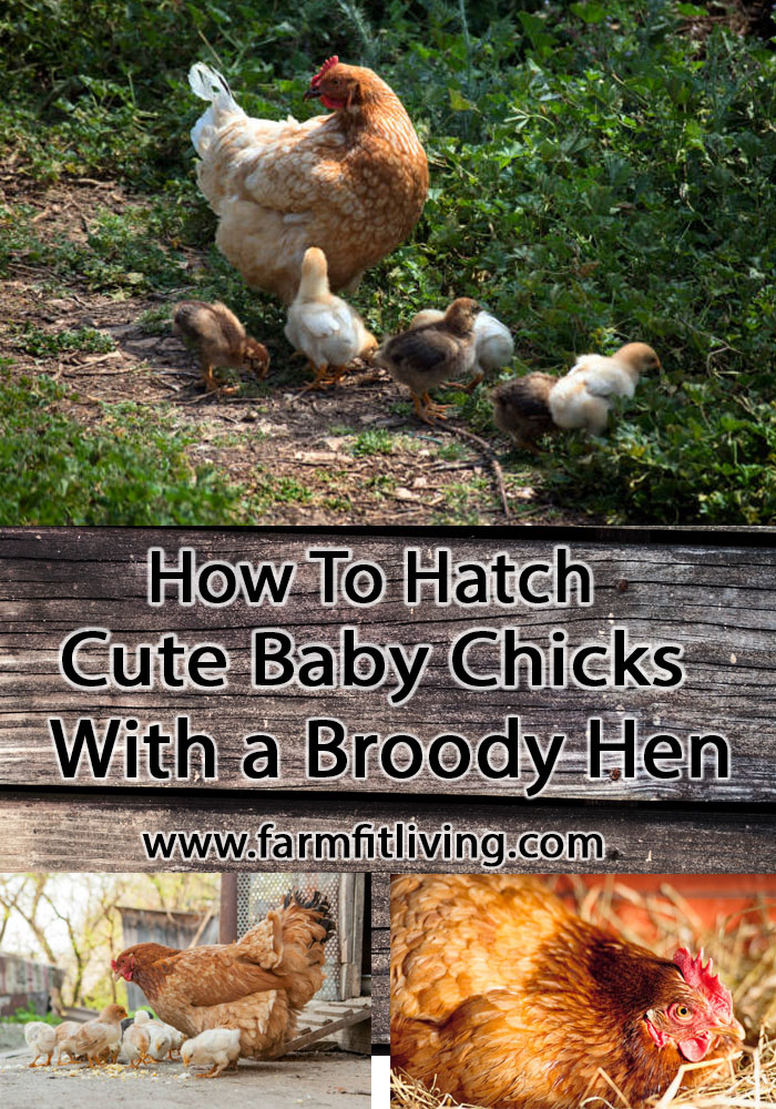 how to hatch cute baby chicks with a broody hen